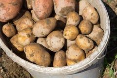 Raccolta delle patate Fotografia Stock