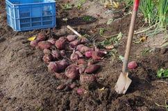 Raccolta delle patate dolci Immagine Stock