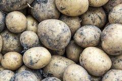 Raccolta delle patate Il concetto di agricoltura Fondo delle patate Fotografia Stock Libera da Diritti