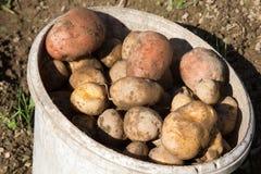 Raccolta delle patate Patate organiche Immagine Stock