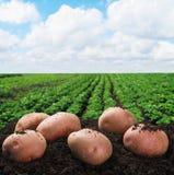 Raccolta delle patate sulla terra Fotografia Stock