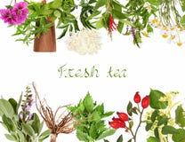 Raccolta delle piante di tè fresche immagine stock libera da diritti