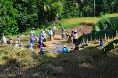 Raccolta delle risaie Fotografie Stock Libere da Diritti