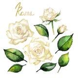 Raccolta delle rose dell'acquerello Immagini Stock Libere da Diritti