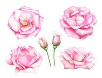 Raccolta delle rose e dei germogli di rosa dell'acquerello Immagini Stock