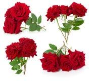 Raccolta delle rose rosse isolate sui precedenti bianchi Immagine Stock Libera da Diritti
