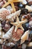 Raccolta delle stelle marine e delle conchiglie Fotografie Stock Libere da Diritti