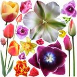 Raccolta delle teste dei tulipani Immagine Stock Libera da Diritti