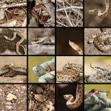 Raccolta delle vipere rumene Fotografia Stock
