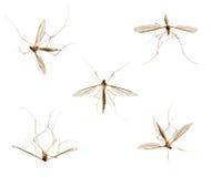 Raccolta delle zanzare su bianco Fotografia Stock Libera da Diritti