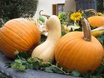 Raccolta delle zucche sul mercato di autunno Fotografia Stock Libera da Diritti