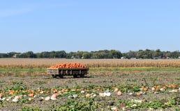 Raccolta delle zucche un giorno soleggiato dell'autunno immagini stock libere da diritti