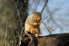 Raccolta dello scoiattolo di caduta Fotografia Stock Libera da Diritti