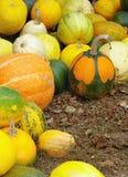 Raccolta di autunno della zucca Immagini Stock