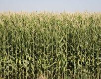 Raccolta di cereale del Colorado Fotografia Stock Libera da Diritti