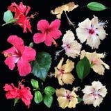 Raccolta di fioritura dei germogli di fiori rossi e gialli dell'ibisco e Fotografia Stock
