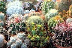 Raccolta di piccoli cactus Immagine Stock Libera da Diritti