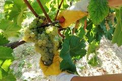 Raccolta di uva, uva di taglio del lavoratore dalla vite immagine stock libera da diritti