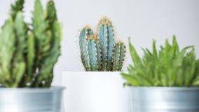 Raccolta di vari cactus e crassulacee in vasi differenti Piante conservate in vaso della casa del cactus Fotografia Stock