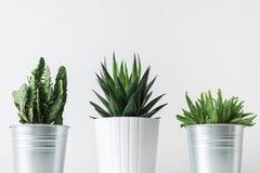 Raccolta di vari cactus e crassulacee in vasi differenti Piante conservate in vaso della casa del cactus sullo scaffale bianco Immagine Stock