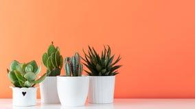 Raccolta di vari cactus e crassulacee in vasi differenti Piante conservate in vaso della casa del cactus sullo scaffale bianco Immagini Stock