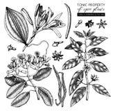 Raccolta di vettore delle piante toniche e piccanti - noce moscata, anice stellato, garofano Insieme disegnato a mano delle illus illustrazione vettoriale