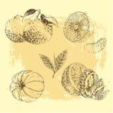 Raccolta disegnata a mano dello schizzo degli agrumi - limone, mandarino dell'inchiostro d'annata, arancio Immagini Stock