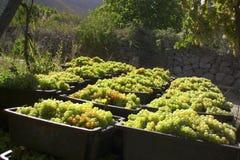Raccolta dolce dell'uva Immagini Stock Libere da Diritti