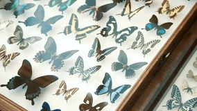 Raccolta entomologica, farfalle sotto vetro stock footage