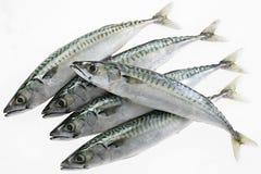 Raccolta fresca del pesce dello sgombro isolata sui precedenti bianchi fotografia stock