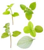 Raccolta fresca isolata delle foglie verdi della menta verde Fotografie Stock