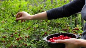 Raccolta Il raccolto della giovane donna e mangia le bacche della ciliegia video d archivio
