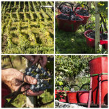 Raccolta nelle vigne di alpines Fotografie Stock