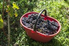 Raccolta nelle vigne di alpines Fotografia Stock Libera da Diritti