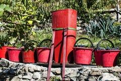 Raccolta nelle vigne di alpines Immagine Stock