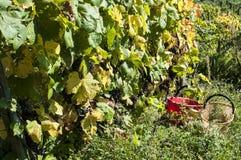 Raccolta nelle vigne di alpines Immagini Stock Libere da Diritti