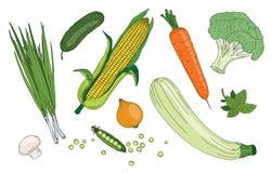 Raccolta organica di vettore di verde fresco della molla delle erbe e delle verdure Immagini Stock