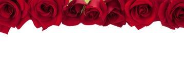 Raccolta panoramica delle rose rosse fresche isolate su backgr bianco Fotografia Stock Libera da Diritti