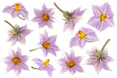 Raccolta porpora del fiore della melanzana Fotografia Stock Libera da Diritti