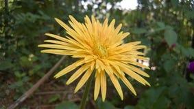 Raccolta rara del fiore del sole Fotografie Stock