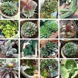 Raccolta robusta e convenzionale dei succulenti Fotografia Stock