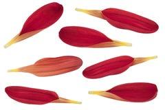 Raccolta rossa del petalo del crisantemo Fotografie Stock