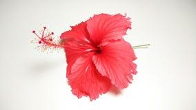 Raccolta rossa della foto del fiore dell'ibisco Fotografia Stock