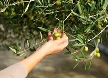 Raccolta selettiva delle olive nell'oliveto Immagini Stock