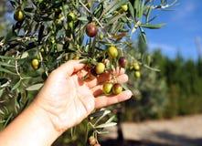 Raccolta selettiva delle olive nell'oliveto Fotografia Stock