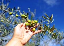 Raccolta selettiva delle olive nell'oliveto Fotografie Stock