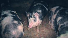 Raccolta sporca Carmal del maiale tre stock footage