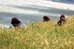 Raccolta in un campo dell'orzo, Himalaya. fotografia stock libera da diritti