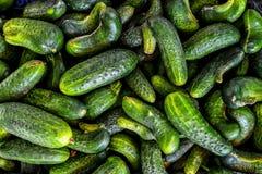 Raccolta verde fresca del cetriolo Immagine Stock