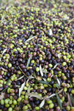 Raccolta verde oliva Immagine Stock